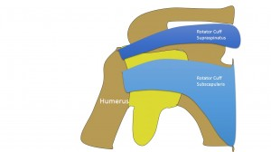 Rotator cuff tendons surrounoding the shoulder joint